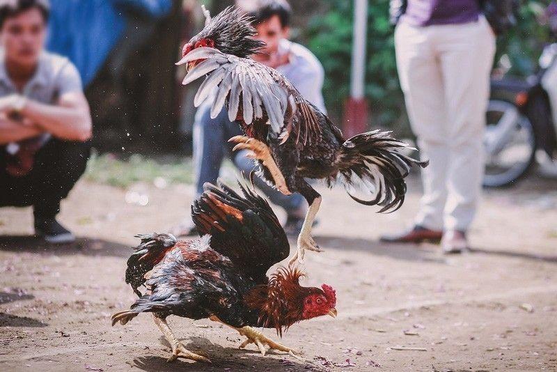 Main Judi Sabung Ayam Online Di SV388